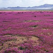 Flowering_Atacama