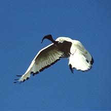 Ibis Tributsch