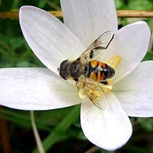 Wild_Bee